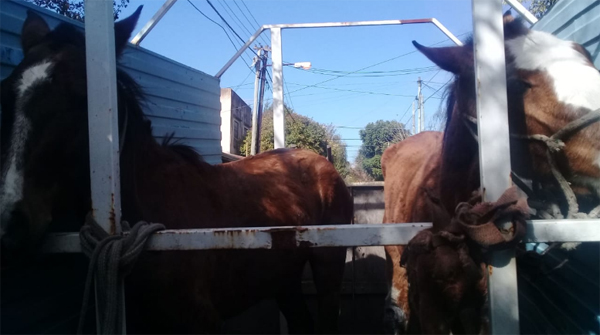 caballos nva1